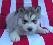 ukc Reg Adorable Siberian husky puppies for better re homing