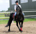 outstanding friesian horse for free adoption